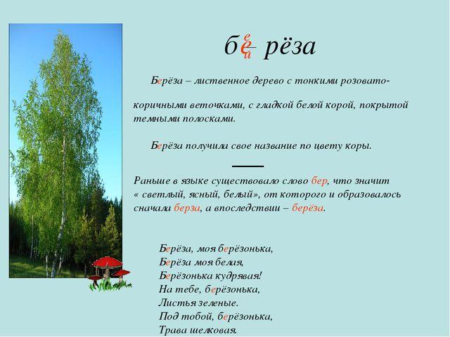 б рёза Берёза – лиственное дерево с тонкими розовато- коричными веточками, с...
