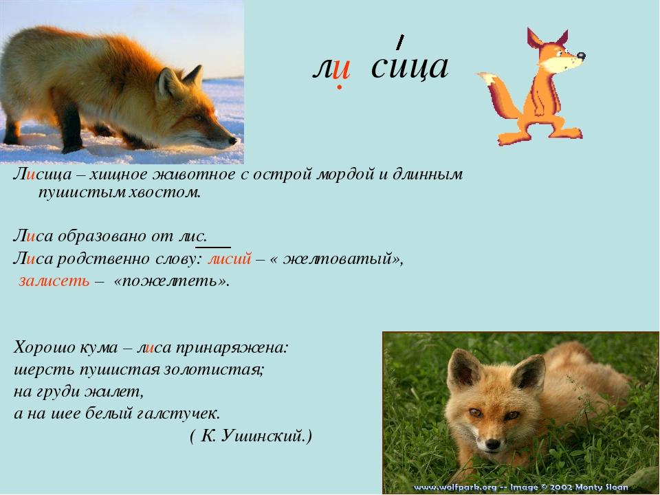 л сица Лисица – хищное животное с острой мордой и длинным пушистым хвостом....