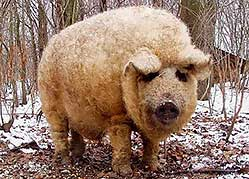 C:\Documents and Settings\User\Рабочий стол\Mangalitsa-pigs-11min.jpg
