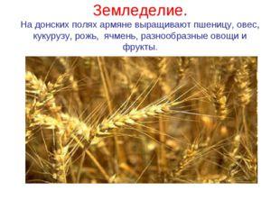 Земледелие. На донских полях армяне выращивают пшеницу, овес, кукурузу, рожь,