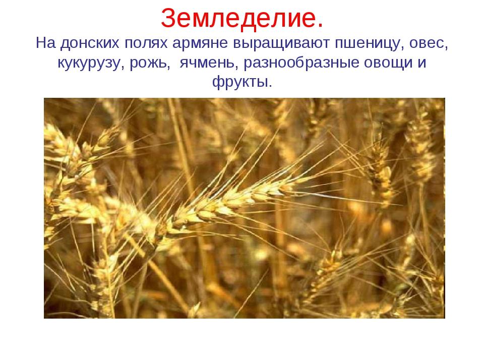 Земледелие. На донских полях армяне выращивают пшеницу, овес, кукурузу, рожь,...