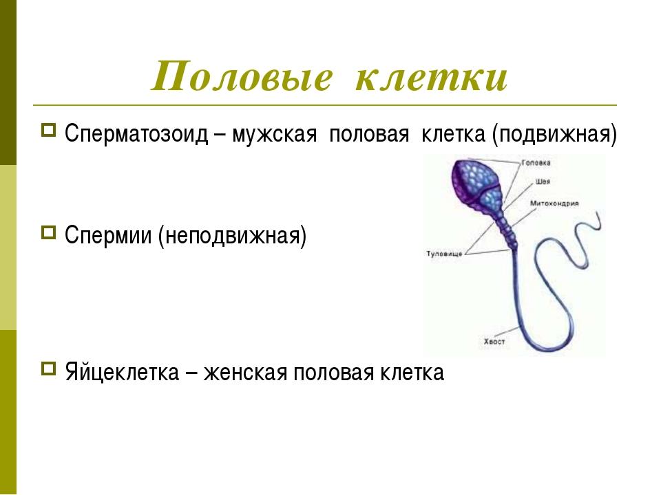 Половые клетки Сперматозоид – мужская половая клетка (подвижная) Спермии (неп...