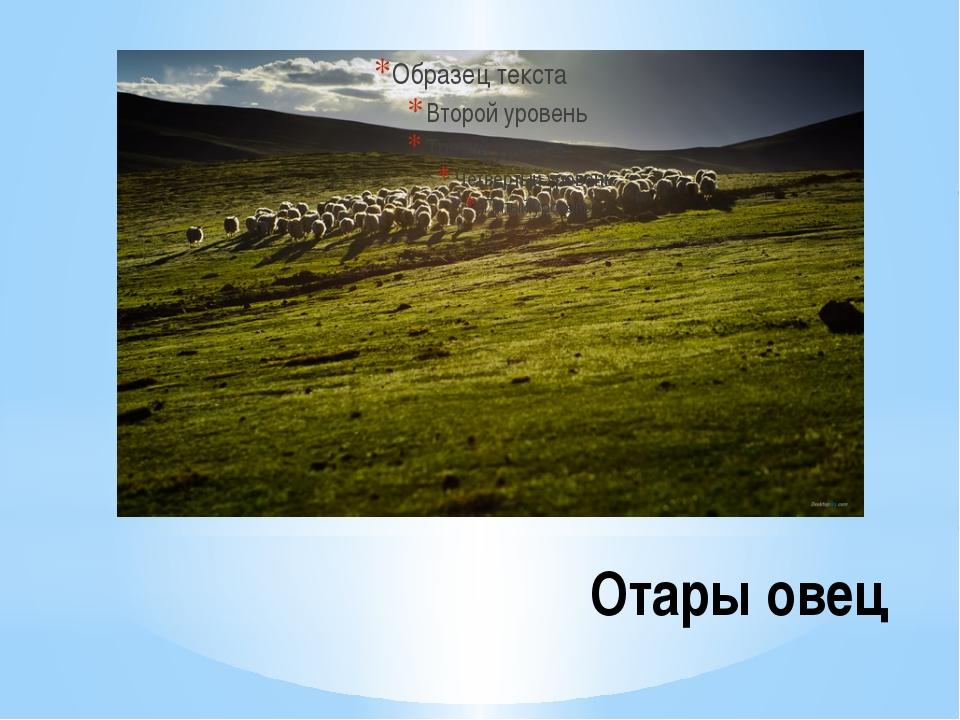 Отары овец