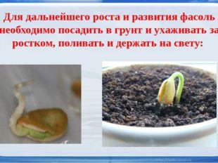Для дальнейшего роста и развития фасоль необходимо посадить в грунт и ухажив