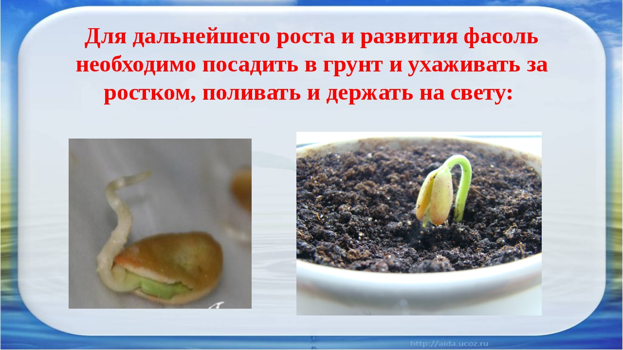 Для дальнейшего роста и развития фасоль необходимо посадить в грунт и ухажив...