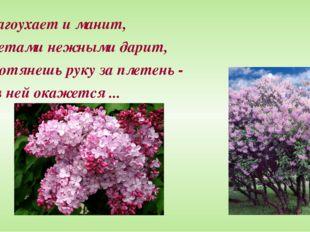 Благоухает и манит, Цветами нежными дарит, Протянешь руку за плетень - И в не