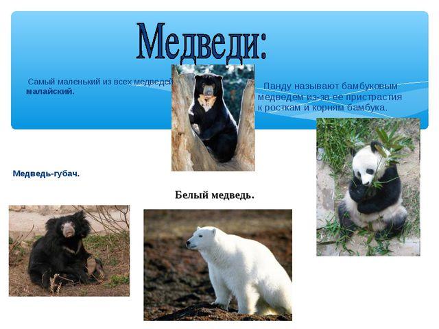 Самый маленький из всех медведей – малайский. Медведь-губач. Панду называют...