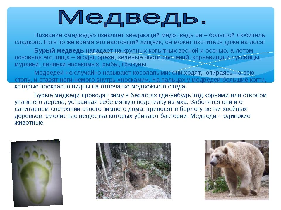 Название «медведь» означает «ведающий мёд», ведь он – большой любитель слад...