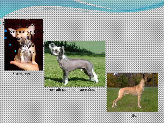 Чихау-хуа Дог китайская хохлатая собака