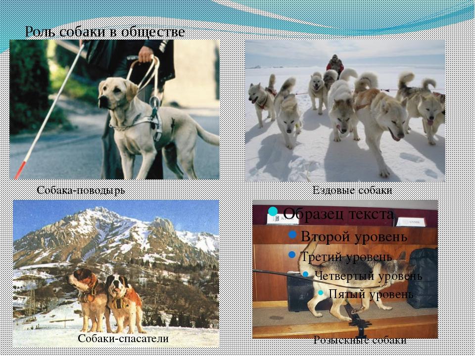 Роль собаки в обществе Собака-поводырь Ездовые собаки Собаки-спасатели Розыск...