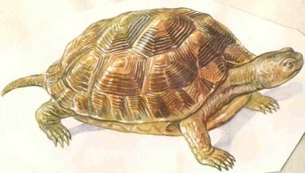 черепаха2