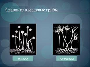 Сравните плесневые грибы мукор пеницилл