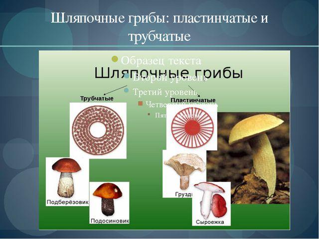 Шляпочные грибы: пластинчатые и трубчатые