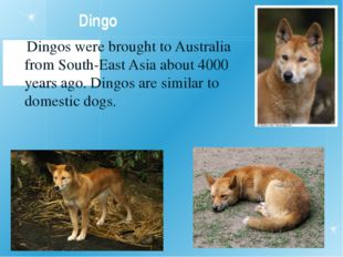 Dingo Dingos were brought to Australia from South-East Asia about 4000 years