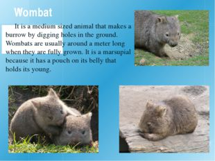 Wombat It is a medium sized animal that makes a burrow by digging holes in th
