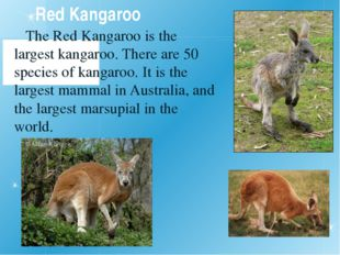 Red Kangaroo The Red Kangaroo is the largest kangaroo. There are 50 species o