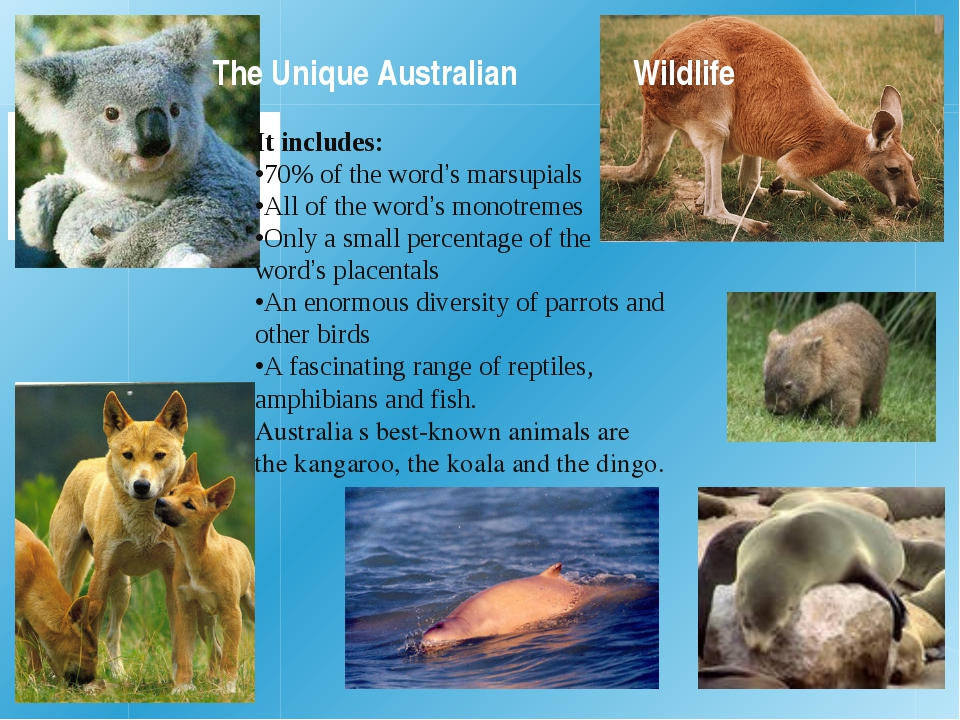 The Unique Australian 	 	Wildlife It includes: •70% of the word's marsupials...
