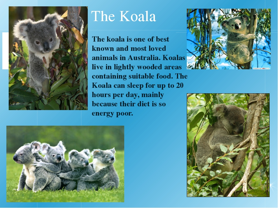 The Koala The koala is one of best known and most loved animals in Australia...