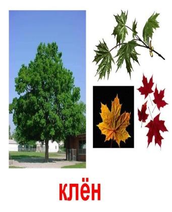 http://900igr.net/datas/rastenija-i-griby/Derevja-1.files/0003-003-Kljon.jpg