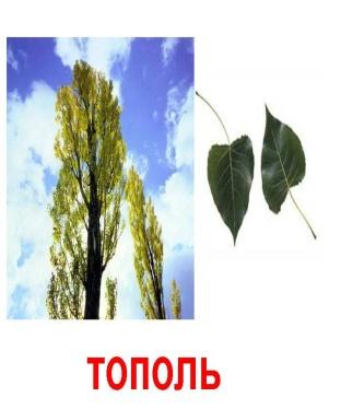 http://900igr.net/datas/rastenija-i-griby/Derevja-1.files/0008-008-Topol.jpg