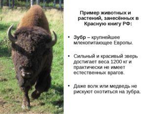 Пример животных и растений, занесённых в Красную книгу РФ: Зубр – крупнейшее