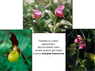 Одними из самых прекрасных цветов нашей тайги можно назвать растения из рода