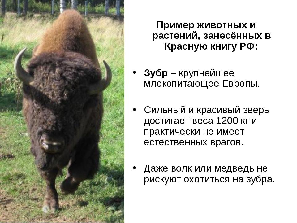 Пример животных и растений, занесённых в Красную книгу РФ: Зубр – крупнейшее...