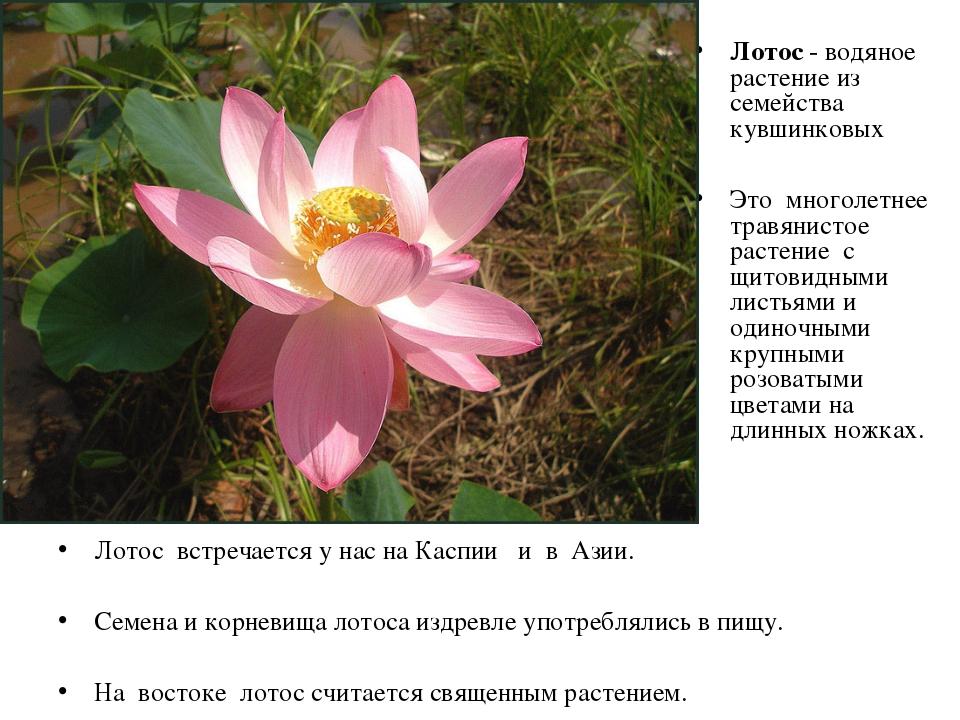 Лотос встречается у нас на Каспии и в Азии. Семена и корневища лотоса издревл...