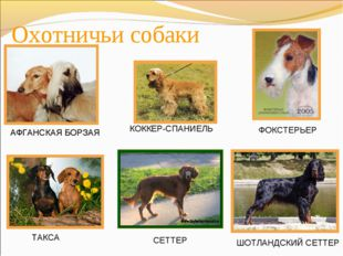 Охотничьи собаки АФГАНСКАЯ БОРЗАЯ КОККЕР-СПАНИЕЛЬ ТАКСА СЕТТЕР ШОТЛАНДСКИЙ СЕ
