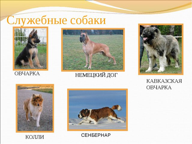 Служебные собаки ОВЧАРКА КАВКАЗСКАЯ ОВЧАРКА НЕМЕЦКИЙ ДОГ КОЛЛИ СЕНБЕРНАР