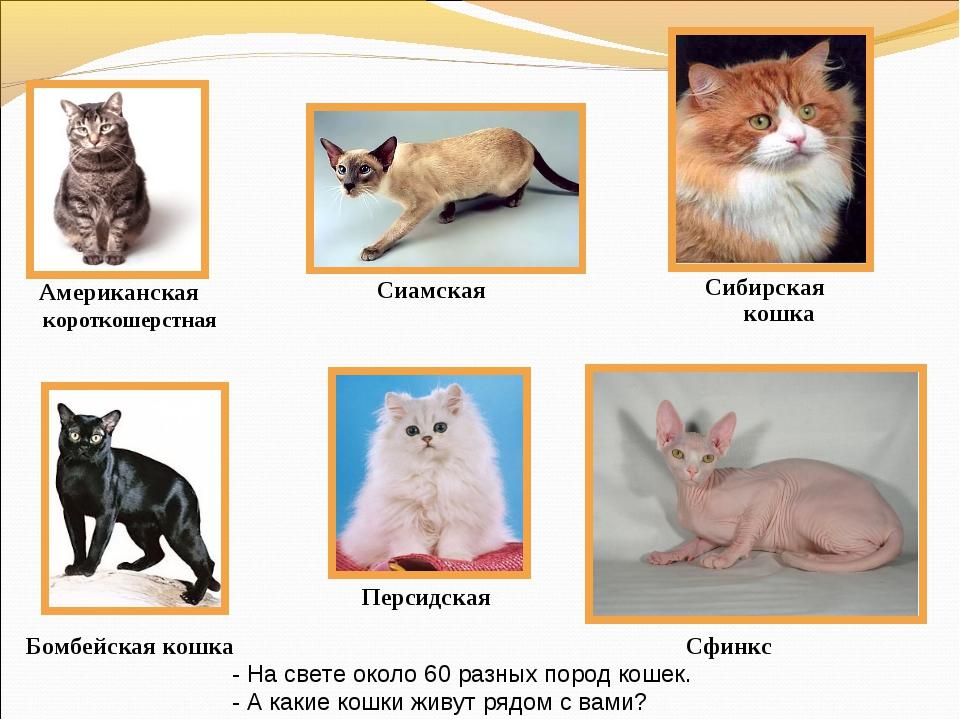 Американская короткошерстная Бомбейская кошка Персидская Сибирская кошка Сфин...
