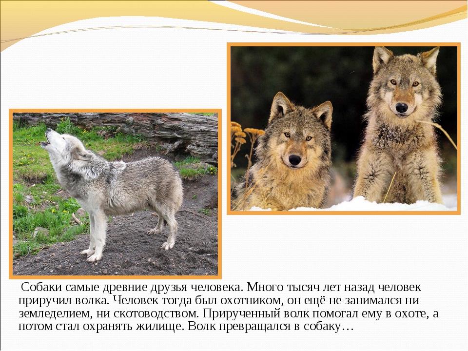 Собаки самые древние друзья человека. Много тысяч лет назад человек приручил...