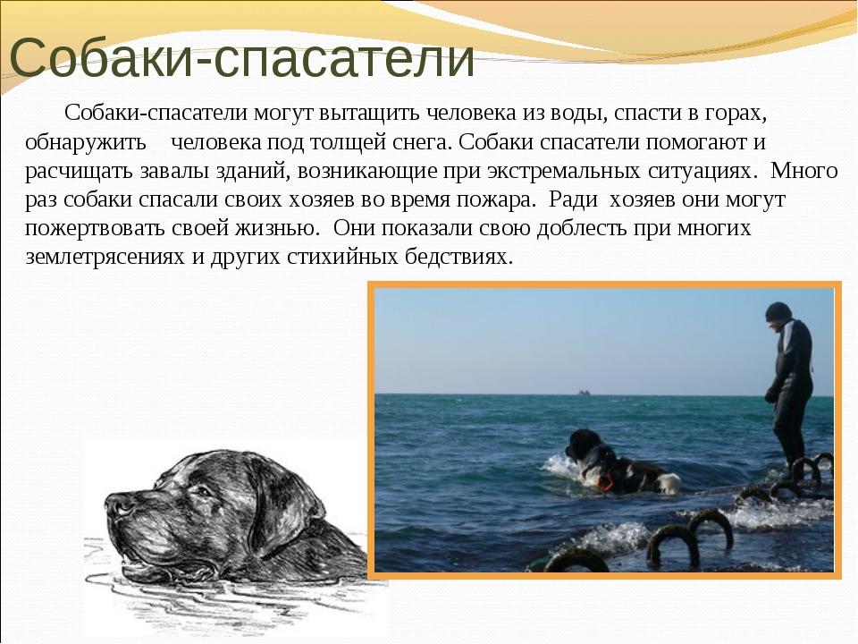Собаки-спасатели могут вытащить человека из воды, спасти в горах, обнаружить...