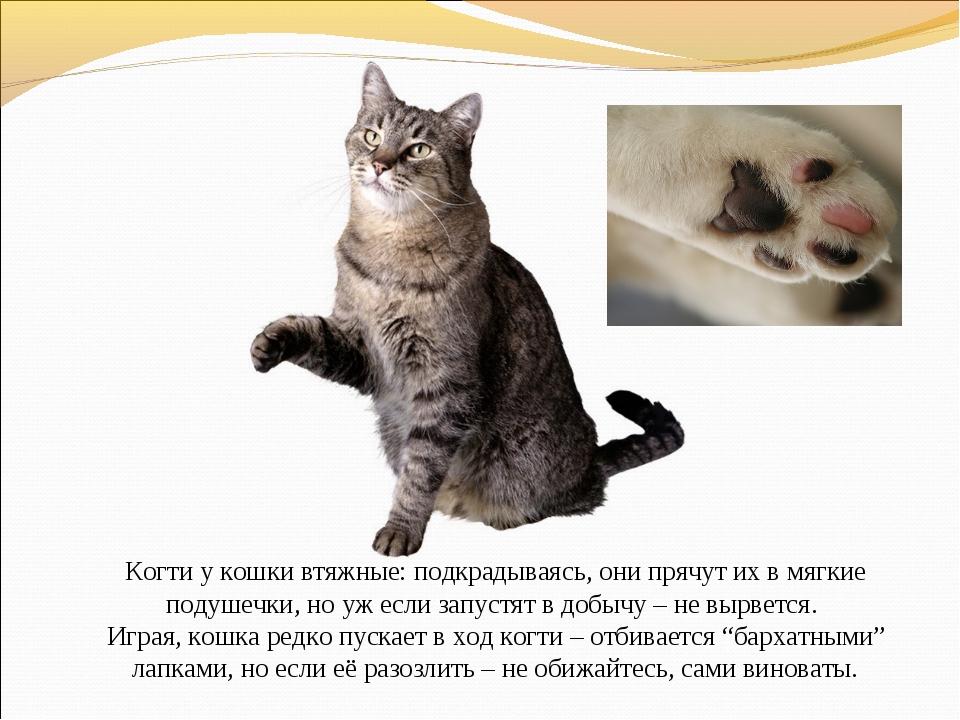 Когти у кошки втяжные: подкрадываясь, они прячут их в мягкие подушечки, но у...