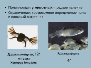 Додекаплоидная, 12n лягушка Xenopus longipes Полиплоидия у животных – редкое