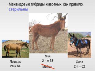 Нет гомологичных хромосом Бесплодие Осел 2 n = 62 Лошадь 2n = 64 Мул 2 n = 63