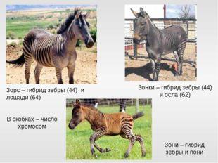 Зорс – гибрид зебры (44) и лошади (64) Зонки – гибрид зебры (44) и осла (62)