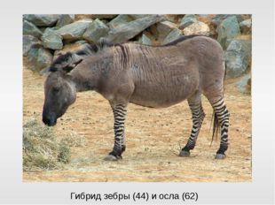 Гибрид зебры (44) и осла (62)
