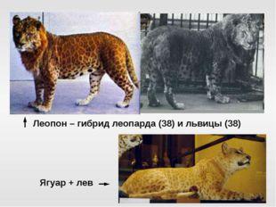 Леопон – гибрид леопарда (38) и львицы (38) Ягуар + лев