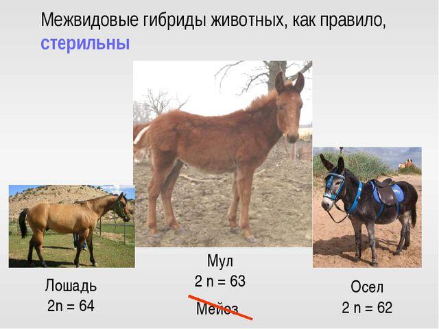 Нет гомологичных хромосом Бесплодие Осел 2 n = 62 Лошадь 2n = 64 Мул 2 n = 63...