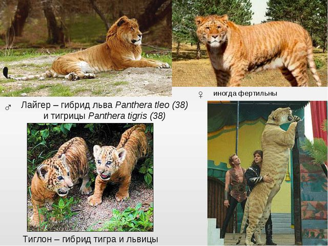 Лайгер – гибрид льва Panthera tleo (38) и тигрицы Panthera tigris (38) ♂ ♀ Ти...