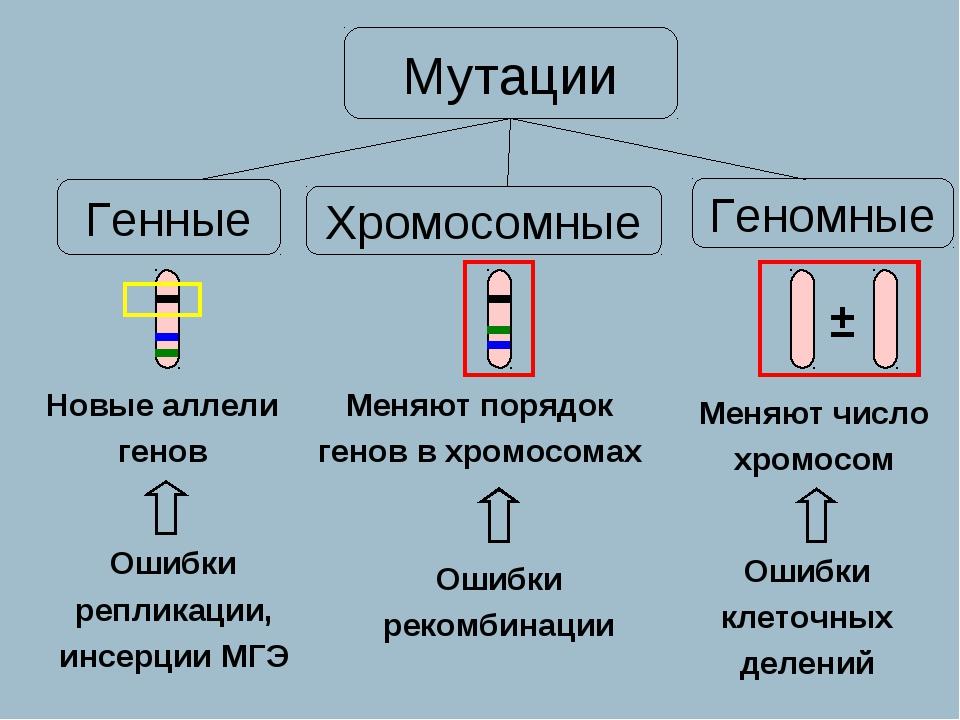 Новые аллели генов Меняют порядок генов в хромосомах Меняют число хромосом Ге...