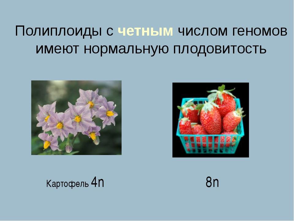 Полиплоиды с четным числом геномов имеют нормальную плодовитость Картофель 4n...