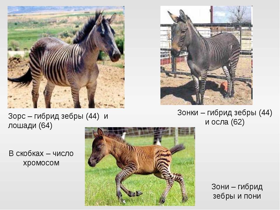Зорс – гибрид зебры (44) и лошади (64) Зонки – гибрид зебры (44) и осла (62)...