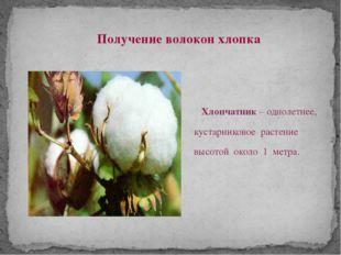 Хлопчатник – однолетнее, кустарниковое растение высотой около 1 метра. Получ