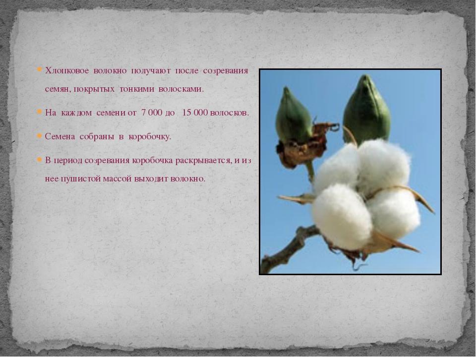 Хлопковое волокно получают после созревания семян, покрытых тонкими волосками...