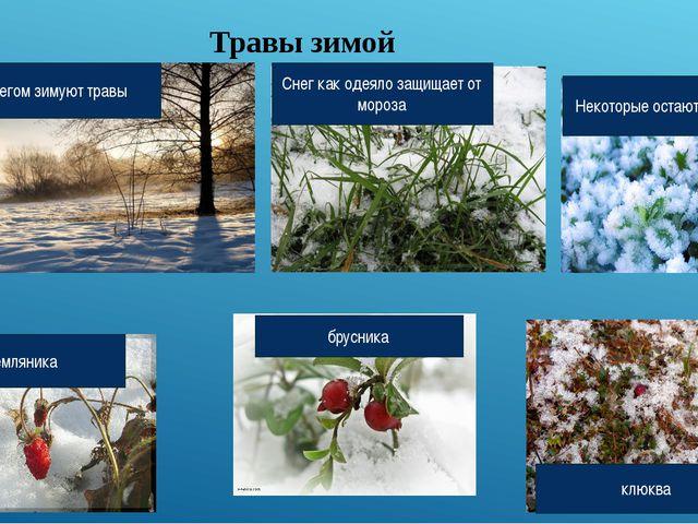 Травы зимой Под снегом зимуют травы Снег как одеяло защищает от мороза Некото...