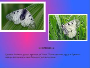 МНЕМОЗИНА Дневная бабочка размах крыльевдо 70мм. Усики короткие, грудь и б