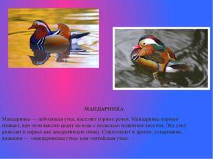 МАНДАРИНКА  Мандаринка— небольшая утка, населяет горные речки. Мандаринка
