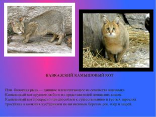 КАВКАЗСКИЙ КАМЫШОВЫЙ КОТ Или болотная рысь—хищное млекопитающееиз семейст